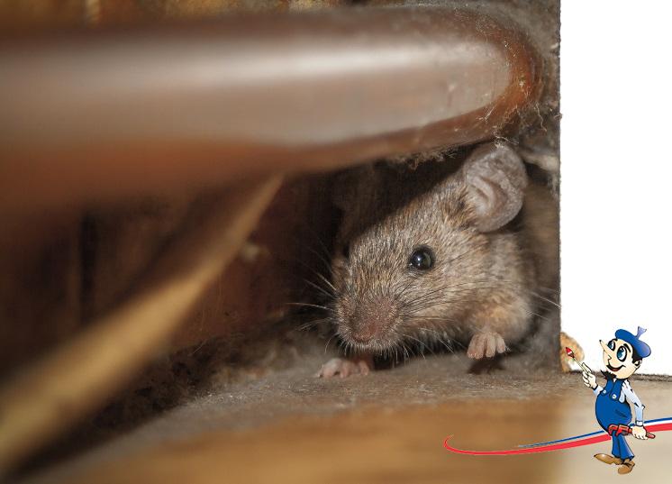 roof rats are a hazardous problem get rid of them. Black Bedroom Furniture Sets. Home Design Ideas