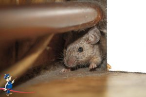 Rats in attic